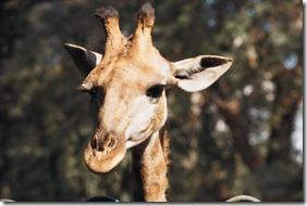 Giraffe[1]