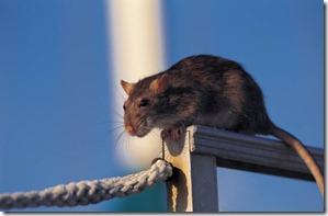 Rats[1]
