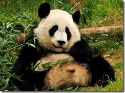 ZooAtlanta-Panda-hd[1]